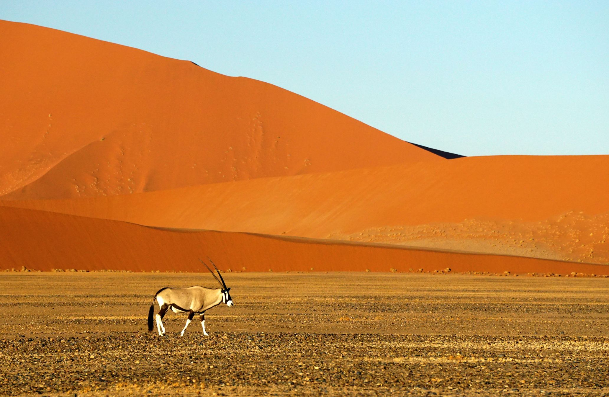 Oryx gazella in the Namib-Naukluft Reserve in Namibia.